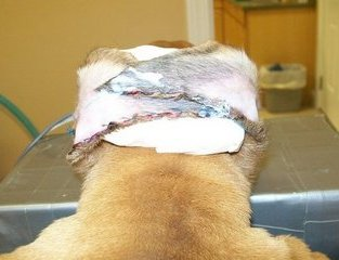 Greer Veterinary | Greer Surgery Photos | NC | <p>Ears by Dr. Bill</p> |